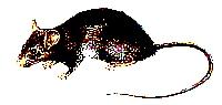 rato_preto.jpg